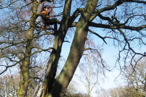 TS.WS.Aerial bat inspection prior to tree felling at Charley Wood