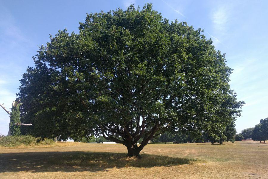 TS.WS.Morden Park Tree