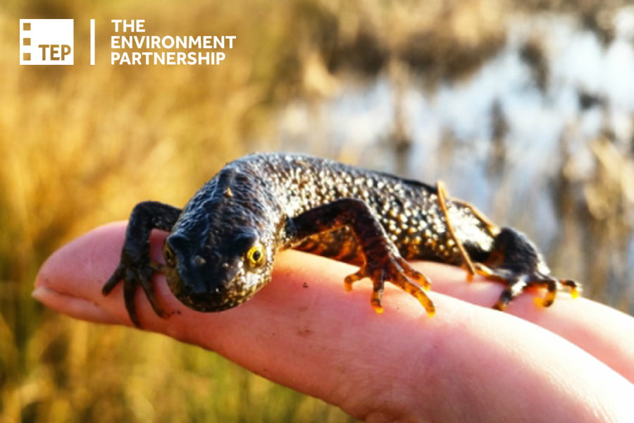 The Environment Partnership_Great Crested Newt_Biodiversity Net Gain