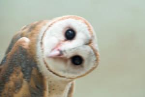 Common Barn Owl (Tyto albahead)