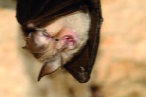 The lesser horseshoe bat (Rhinolophus hipposideros)