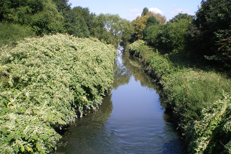 Invasive Non-Native Species - Japanese Knotweed along a river bank.