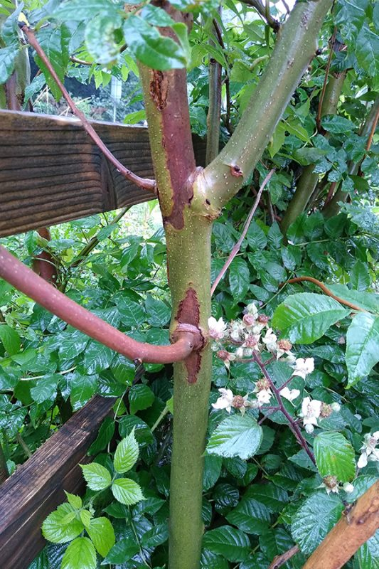 Lesions may develop at the base of the stem increasing the risk of catastrophic failure and, worryingly, these can develop with the tree displaying few other signs of the disease. Younger trees seem most susceptible and can succumb more quickly.
