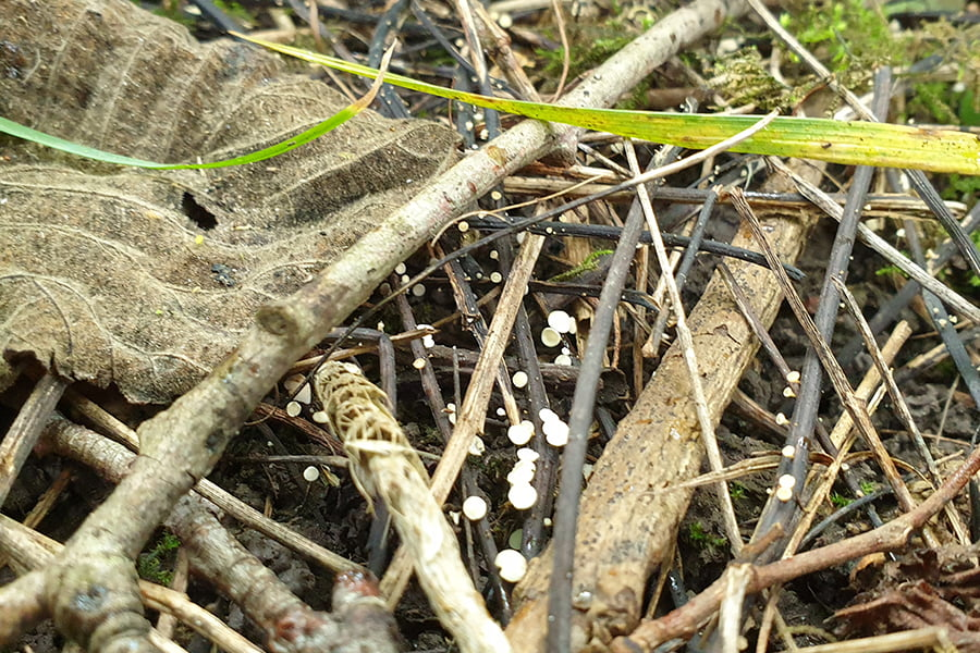 The disease comes from small white mushrooms that develop on shed leaf stalks in autumn and then spreads via windborne spores.